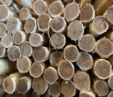 Acacia Palen 1.60m/8-10cm